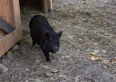 Beatrice Pig