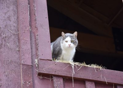 Lars the barn cat