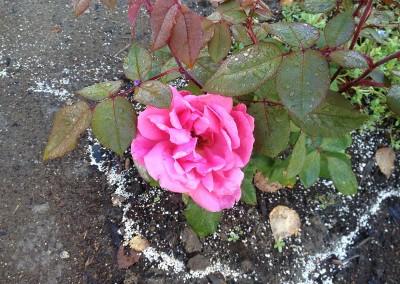 West-Creek-rose-DB