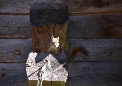 Cabin squirrel