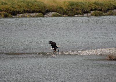 Eagle feeding on salmon